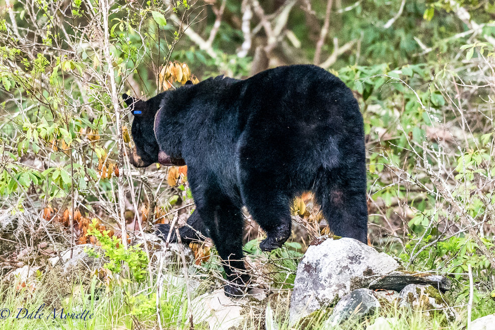 While sitting in the woods this morning at a local beaver pond I heard something huge coming thru the woods about 100 feet from me. It was to noisy to be a moose. When it appeared it was a female black bear with a tracking collar from Masswildlife with 2 cubs about 16 months old behind her. 5/10/17