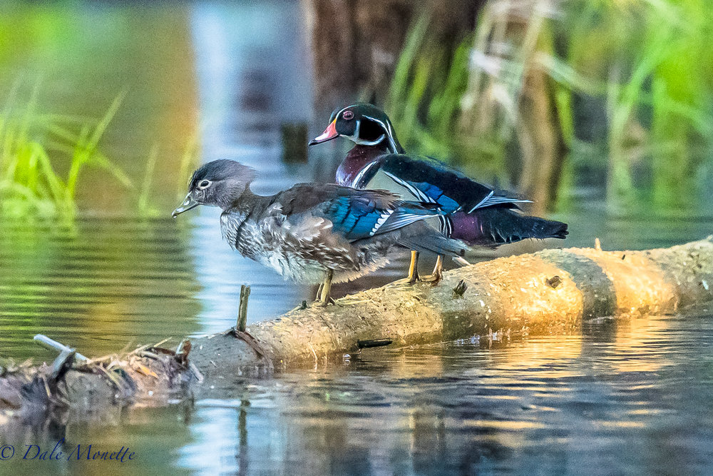 I snuck up on these 2 wood ducks sitting in a patch of early morning sun.  5/16/17
