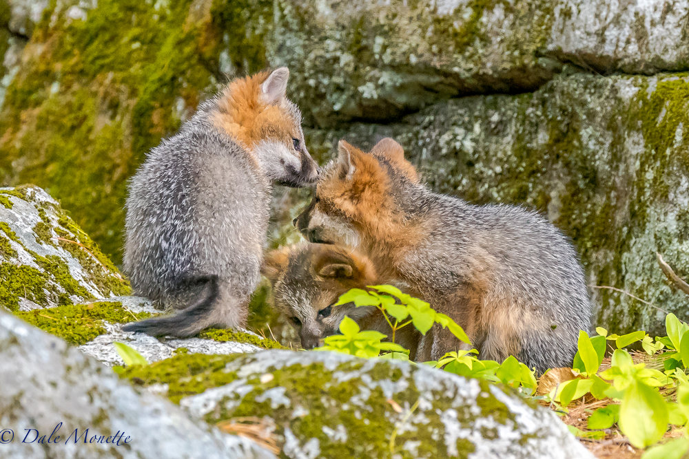 A summit meeting !  These 3 gray fox kits belong to the female gray fox on the next page here.  They are about 3 months old and ready to take on the world. 6/2/17