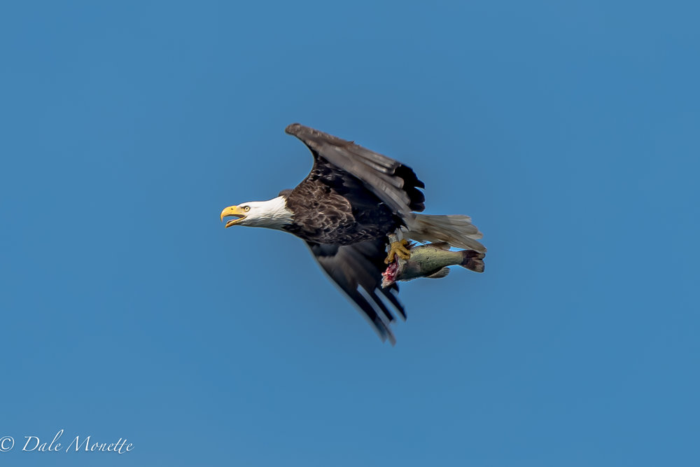 I forgot this with all thats going on in my life right now. This eagle flew over Lee and I in the loon survey boat on Quabbin on Thursday morning. Fish for breakfast !!  6/3/17