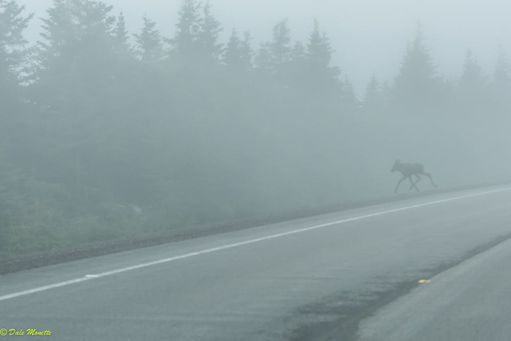 Within 10 minutes of arriving at Cape Breton Highlands National Par, Nova Scotia, a young bull moose was following its mother across the road.  The mother was so fast, no picture, but I did get this little tyke !  6/5/17