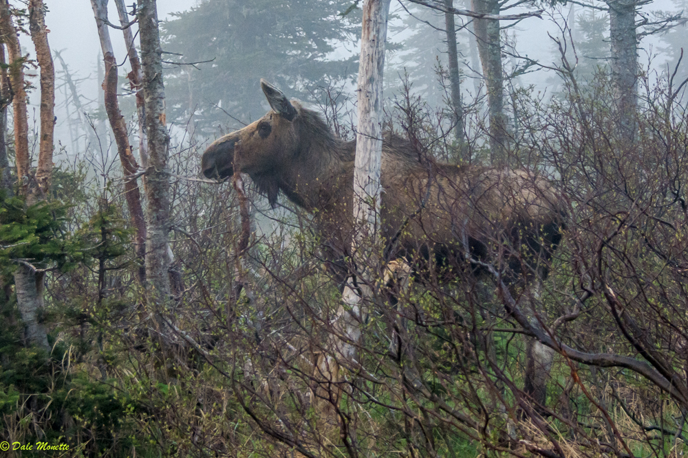 """This moose magically appeared out of a foggy forest this morning right in front of me, she looked at me and them sauntered away like """"oh, you again?"""" ...... 6/7/17 Cape Breton Highlands"""