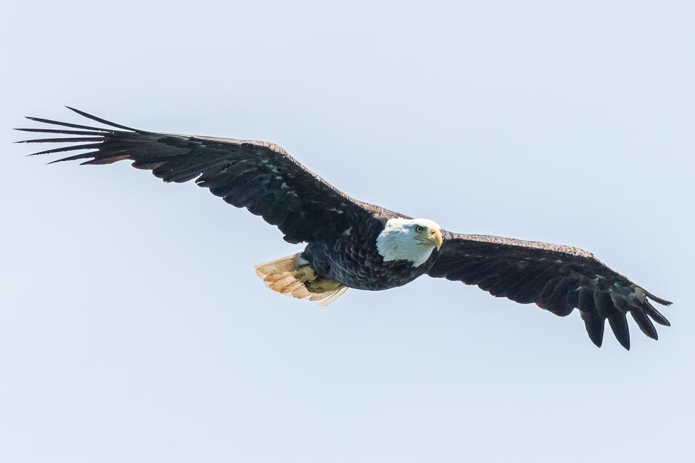 An adult bald eagle soars over St. Ann's Bay, Cape Breton. 6/8/17