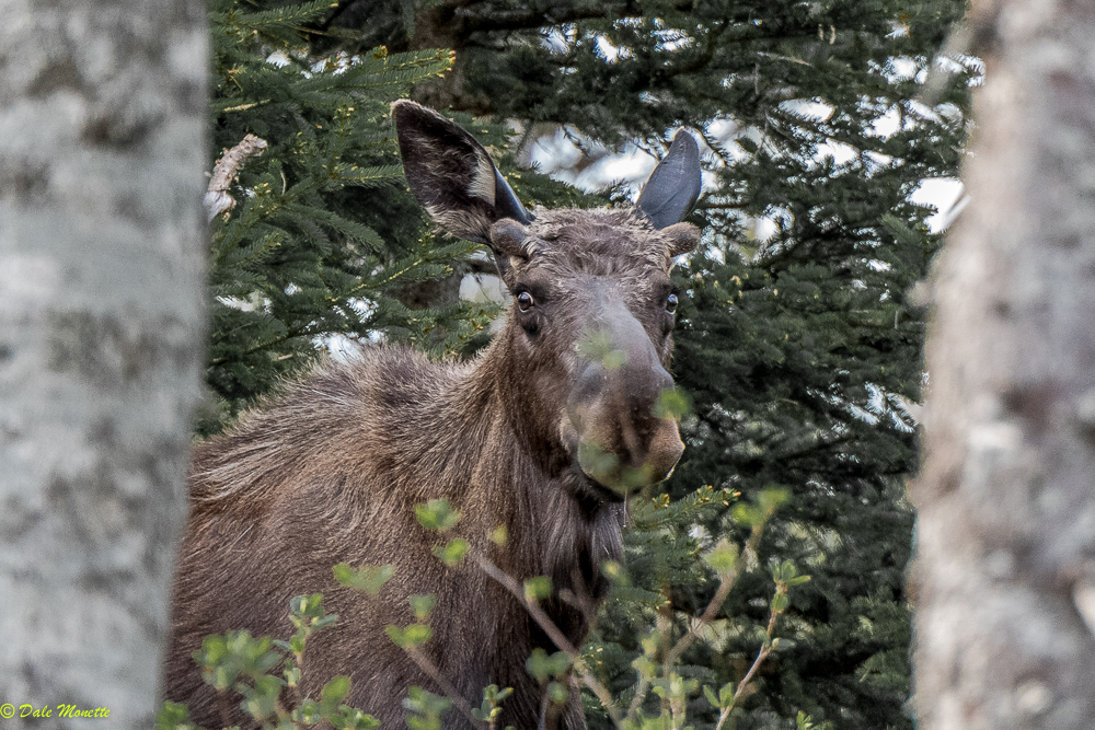 At six o'clock this morning this bull moose saw me just before I spotted him. He told me his favorite Beatle song was Hello, Goodbye and promptly left...... North Mountain, Cape Breton, Nova Scotia...... 6/10/17