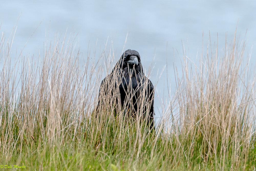 I found this young raven hiding in the grass on top of a huge drop off over the ocean this morning. he was just watching the world go by ! He finally took off behind him and glided down to the rocks below. 7/10/17