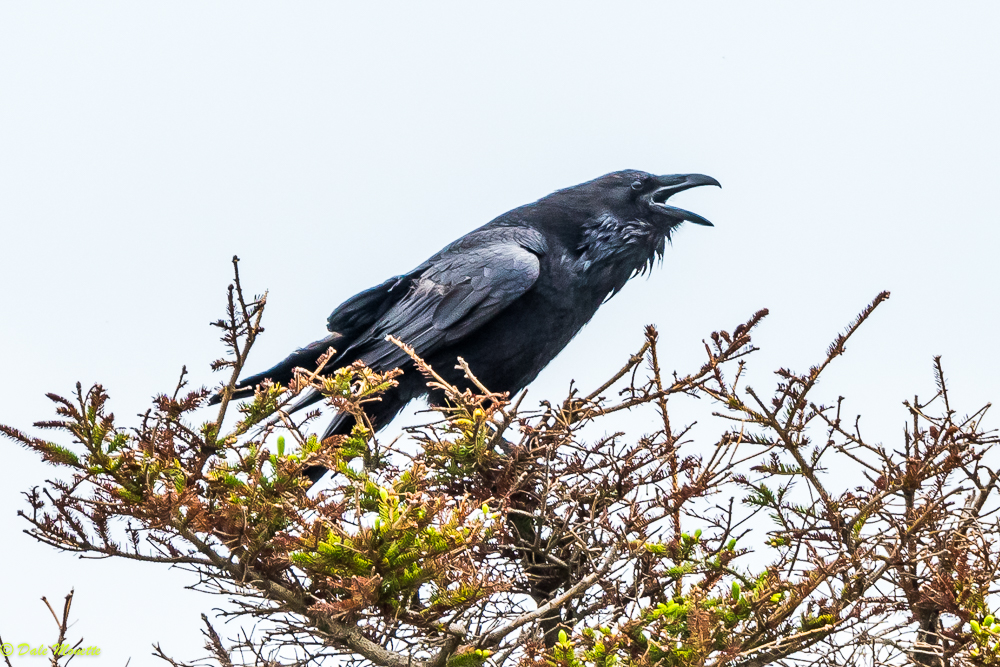 """Heres an adult raven screaming """"I am king of the world"""" in the same location as the previous raven photo. I love Cape Breton ravens ! (sounds like a sports promo) 7/10/17"""