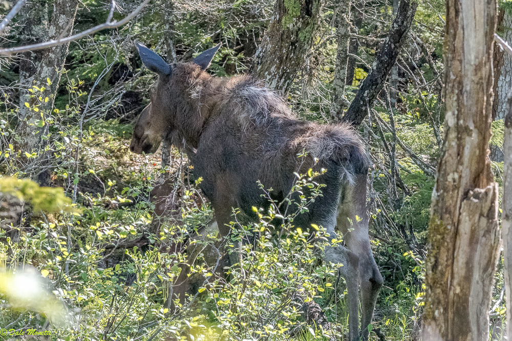 "The word among moose on Cape Breton is ""when you see Dale, run as fast as you can, or get lots of bushes in front of you""  This moose spotted me this morning and she was off to the races !  Note she is still shedding her heavy winter coat. 7/10/17"