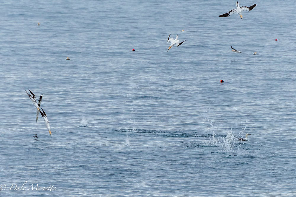 Northern gannets diving for fish off the east coast of cape Breton Island, Nova Scotia.  6/3/17