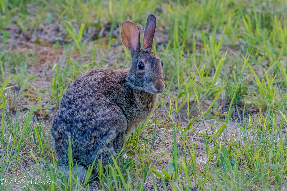 An eastern cotton-tail rabbit  was eating its supper when I blundered into it.  It sniffed at me a few times and I took this picture and left.  It then went back to munching grass.  6/25/17