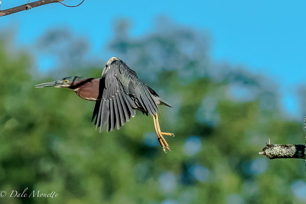 I was watching this green heron when all of a sudden he turned around fast and leaped off his branch and disappeared.  7/26/17