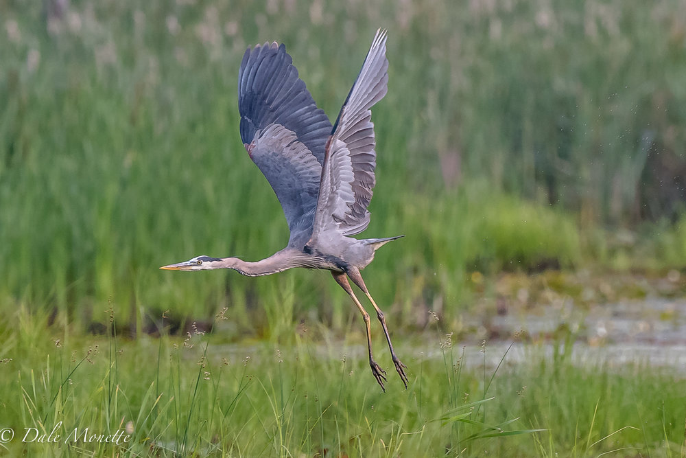 A great blue heron lifts off from a local beaver pond today.......6/30/17