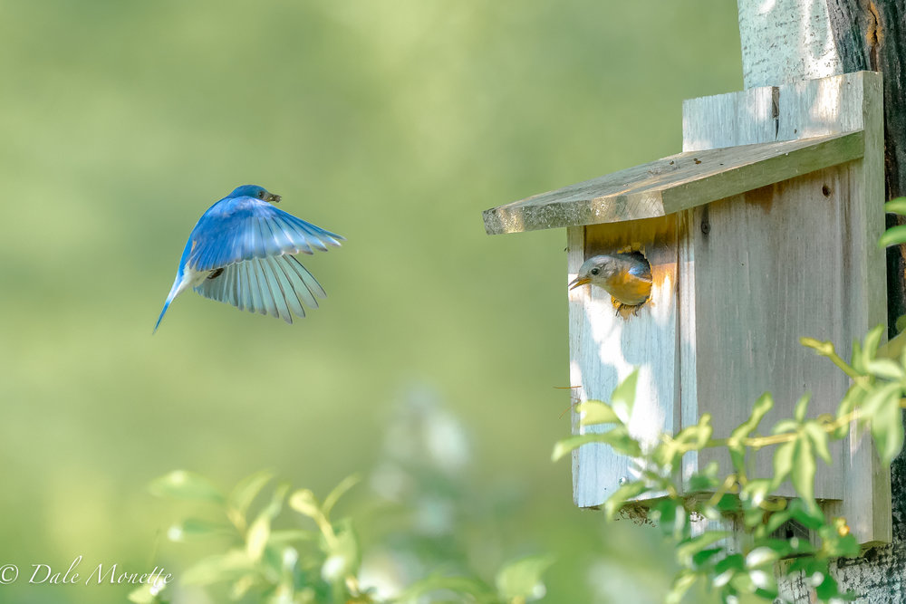 These 2 bluebirds are in this house in a local cemetery.  I discovered them a few days ago and have had a great time watching and photographing them feeding chicks in the box.  7/2/17