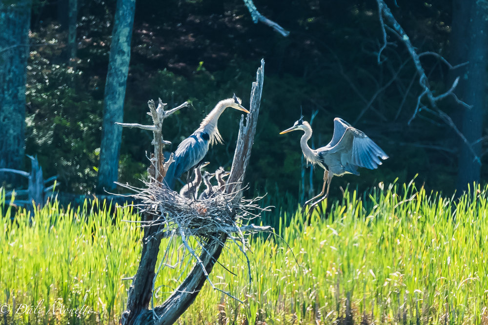 I spotted this great blue heron nest with three chicks this morning about 200 yards out in a swamp. It was at eye level and not 60 feet up in a tree like they usually are. Within 15 minutes the second adult arrived with dinner !  7/5/17