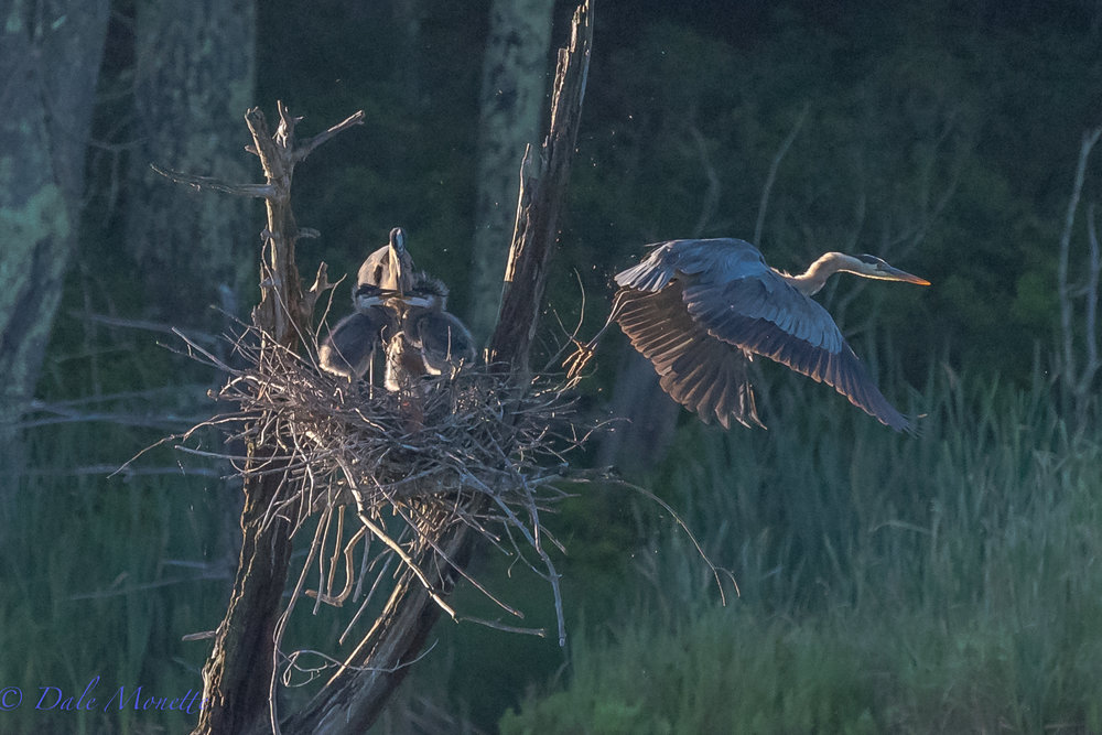 "And as soon as dad arrives home, mom leaves as she's been sitting with the 3 great blue heron chicks all night.. ""see ya later chump feed them and babysit for a while""  7/9/17"