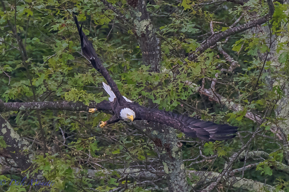 This adult bald eagle was watching us for about a mile before it flew as we approached in the loon survey boat today doing the survey on the Quabbin.  Always fun to see the eagles there with their 7 foot wing span.  7/12/17