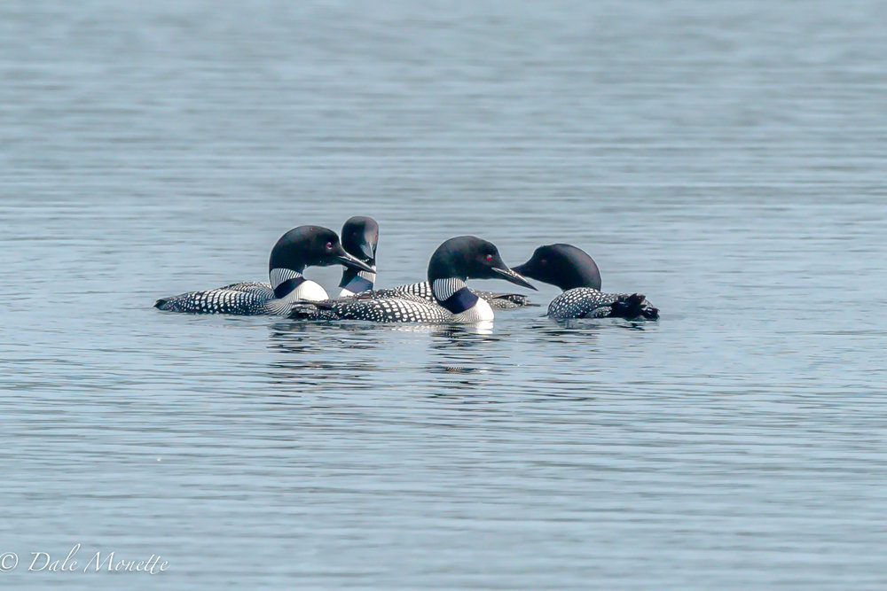 Yesterday was weekly loon survey day at Quabbin.  The loons are starting to gather up. These are birds that failed this season nesting or never started. We saw 9 birds in one flock.  7/14/15