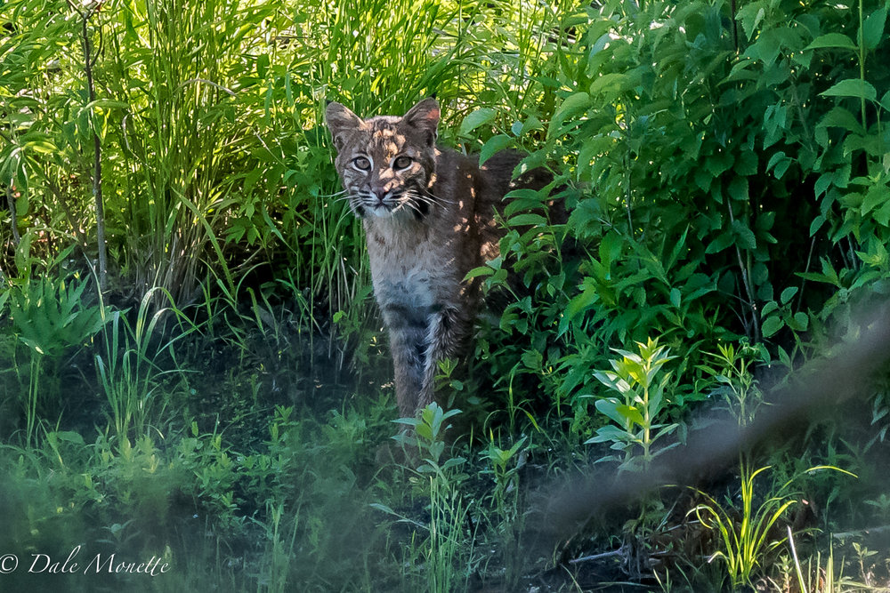 The bobcat stuck its head back out of the bushes to try to figure out who was watching it?.....