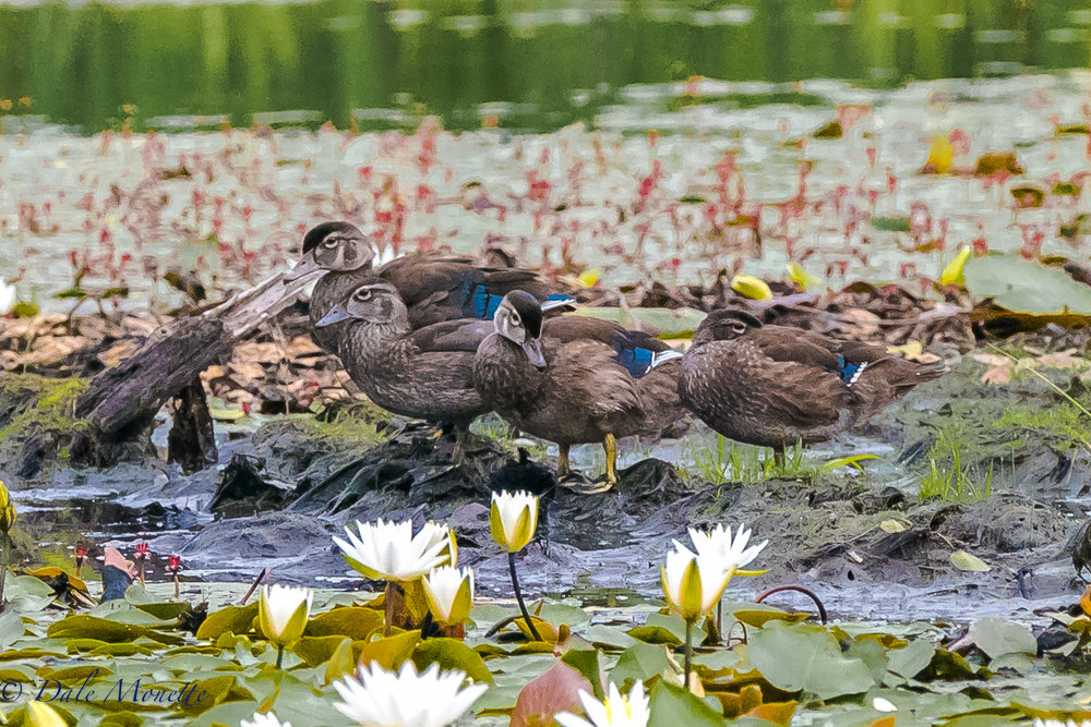 "In my opinion so far this years been a banner year for wood duck chicks.  Right now the beaver ponds are crawling with them getting ready to fly off into their future.  This morning I watched these 4 preening together on ""the preening stump"" that they use from time to time.  7/18/17"
