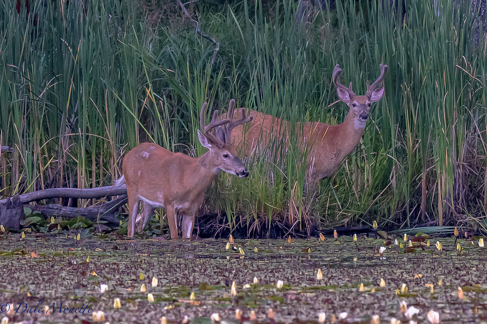 These same two bucks came back out for fresh greens for breakfast early this morning.  This is the second day this week I have seen them.  A few days ago they had a third one with them  7/20/17