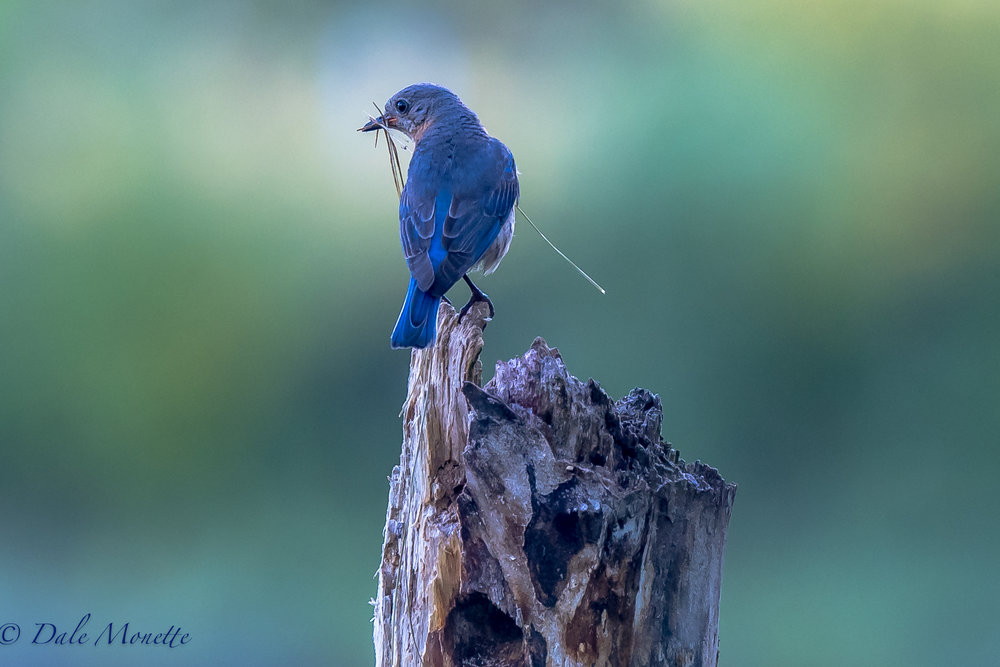 This male bluebird just finished raising one nest of chicks with his mate last week.  Now he's busy looking for another place to nest but it's to late in the season.  Maybe he's practicing for next year.  7/27/17