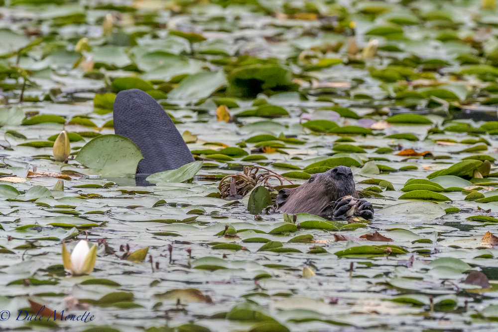 Beavers get real secretive in the summer and loaf around the pond. This one popped up right in front of me yesterday and ate his breakfast of pond lilies ...... 7/26/17