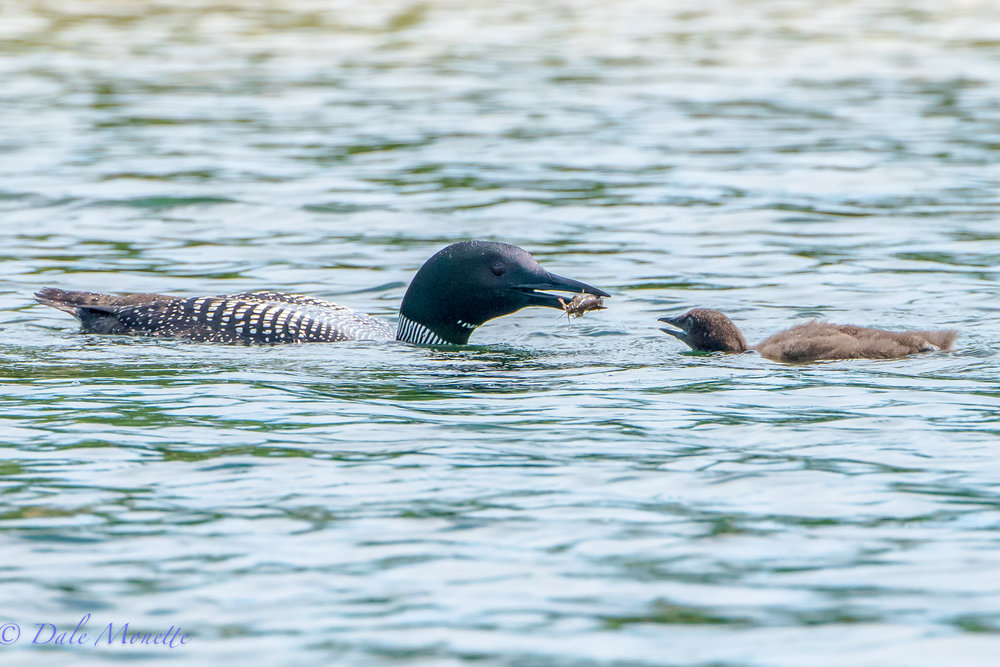 Dad brings home the bacon.....errr.... crawfish.........loon survey....8/17/17