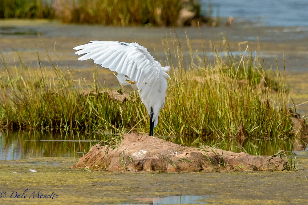 I spent the morning on Parker River National Wildlife Refuge on the north coast of Massachusetts. Great egrets were everywhere, her's one that was on the side of the road in the marshland. 8/25/17