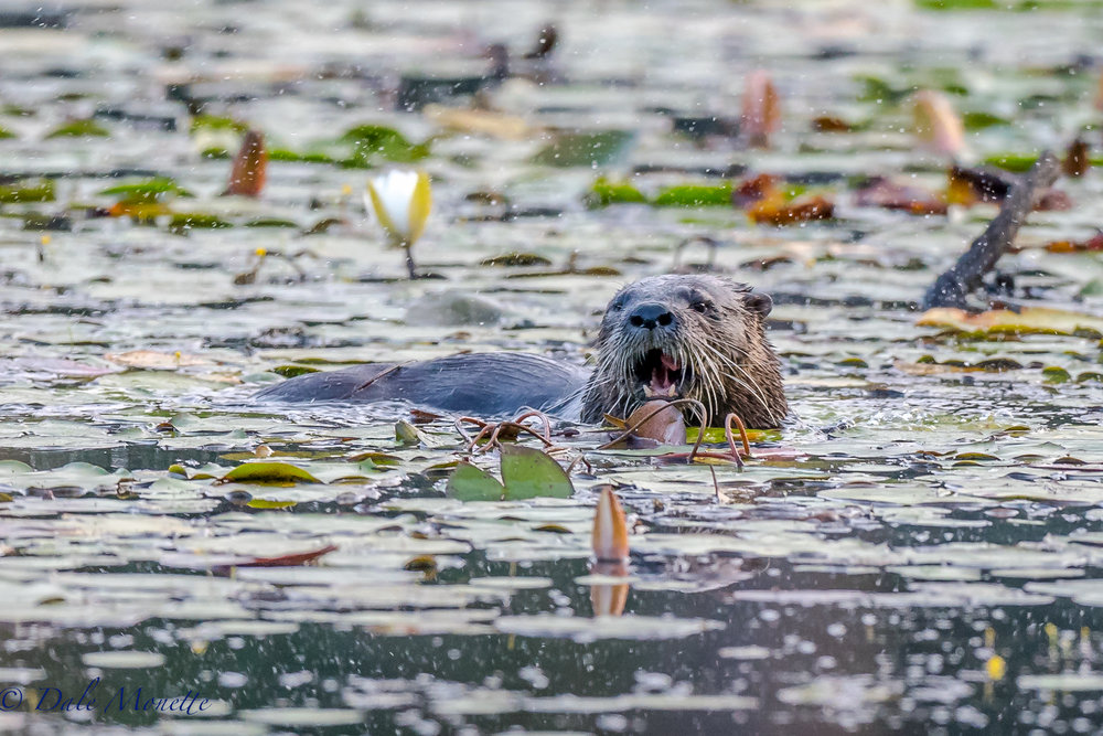 This river otter shows up every day at the same time through the same part of the pond, The breakfast menu today was frogs !,,,,,,  8/26/17
