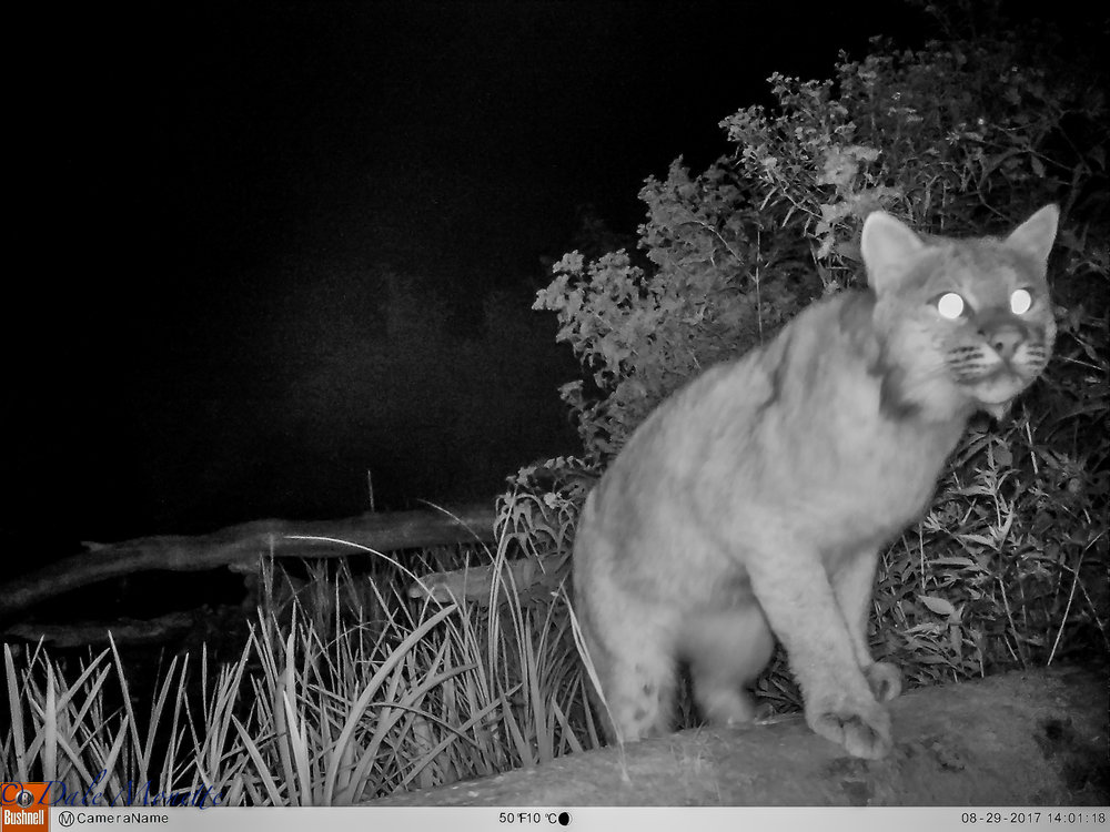 About 6 weeks ago I took some pictures of a bobcat at 8AM on a Sunday.... I took my trail camera and locked it to a tree about 2 weeks ago right where I saw the cat. Here is an image that was on the camera this morning !!  Note the feet on this cat.... 8/30/17