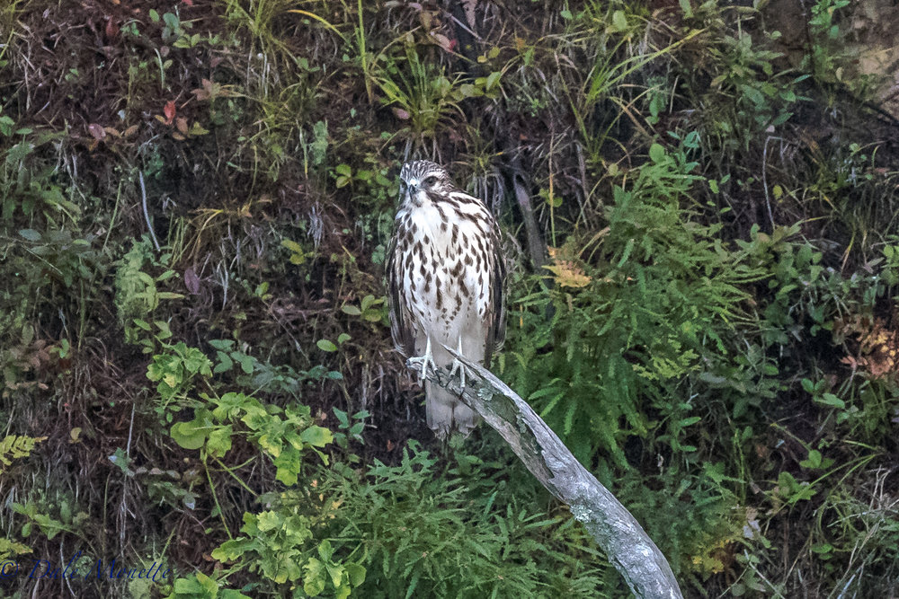 I found this juvenile broad-winged hawk hunting a chipmunk along the Quabbin shore yesterday early in the morning. After about 15 minutes with no luck it flew off up the shore and disappeared.  9/5/17