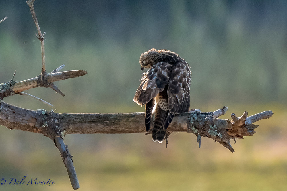 Yesterday morning I watched this juvenile broad winged hawk spend 30 minutes preening in the sun after chasing a flock of crows around... I got him in a blink of his eye.....