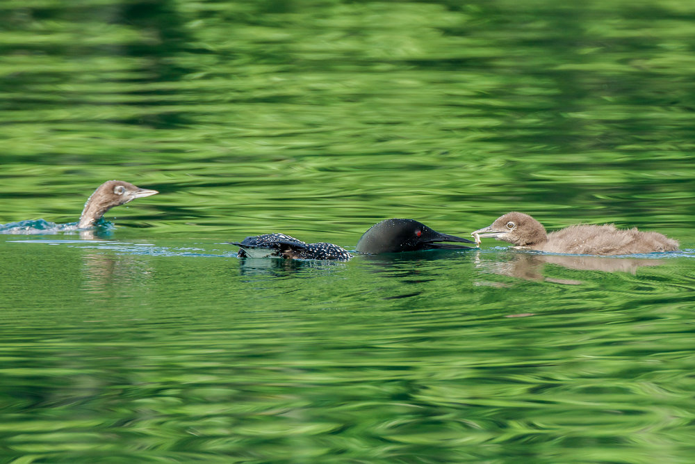 Here's a blast from the past as Ive been busy with the book release show and have been inside all week.  This  was from last summers surveys. The adult loons are great parents and keep feeding the chicks right on through the fall.