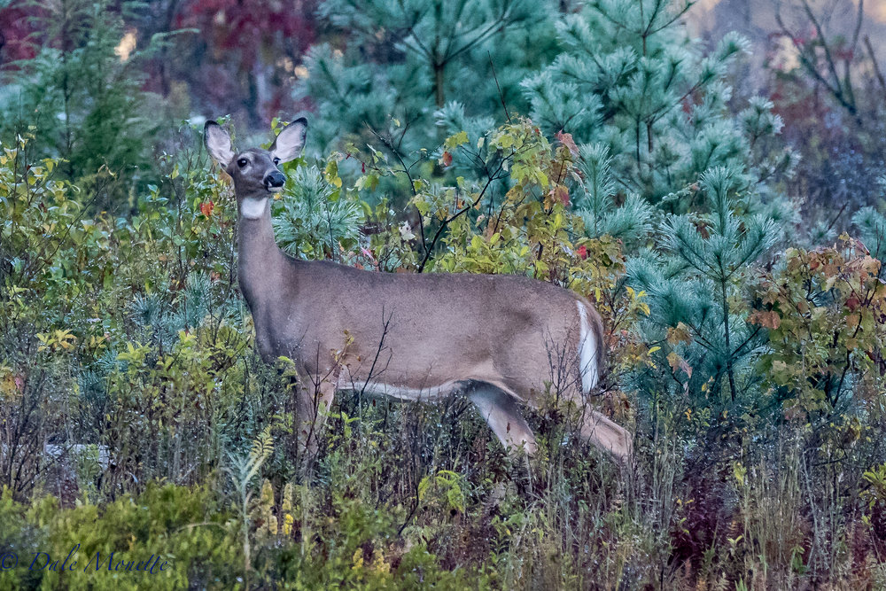 This white tailed doe came out just up the shore from me this morning. I was pretty well hidden as you can see, she didnt see me.....