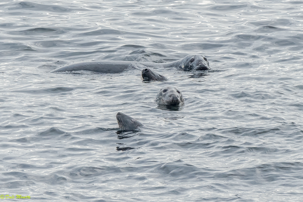 After 3 hours one day and 90 minutes the next of watching these gray seals I finally got a decent family photo...... Cape Breton, Nova Scotia 10/10/17