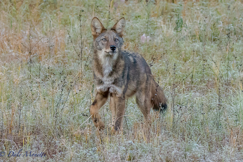 I watched this coyote for about 90 minutes on and off this morning hunting the Quabbin shoreline. With patience, I finally had him about 40 yards in front of me hunting mice. He was so into it I dont think he was to concerned I was there in the woods..... this was an awesome experience ! 10/17/17