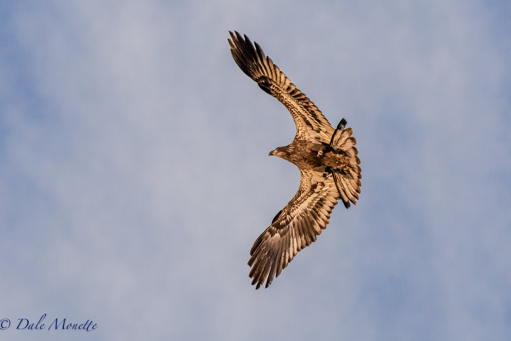 This immature bald eagle shot right over my head this morning and made a U turn and came back. He was up in the rising sunlight and that gave him a gold color. If you look closely you can see the suns reflection in his eye.