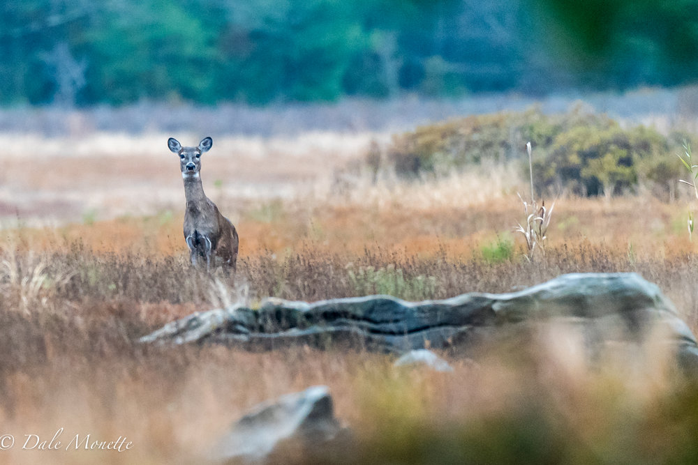 Finally  !!!  I got out into the Quabbin and this doe greeted me and then disappeared into thin air...