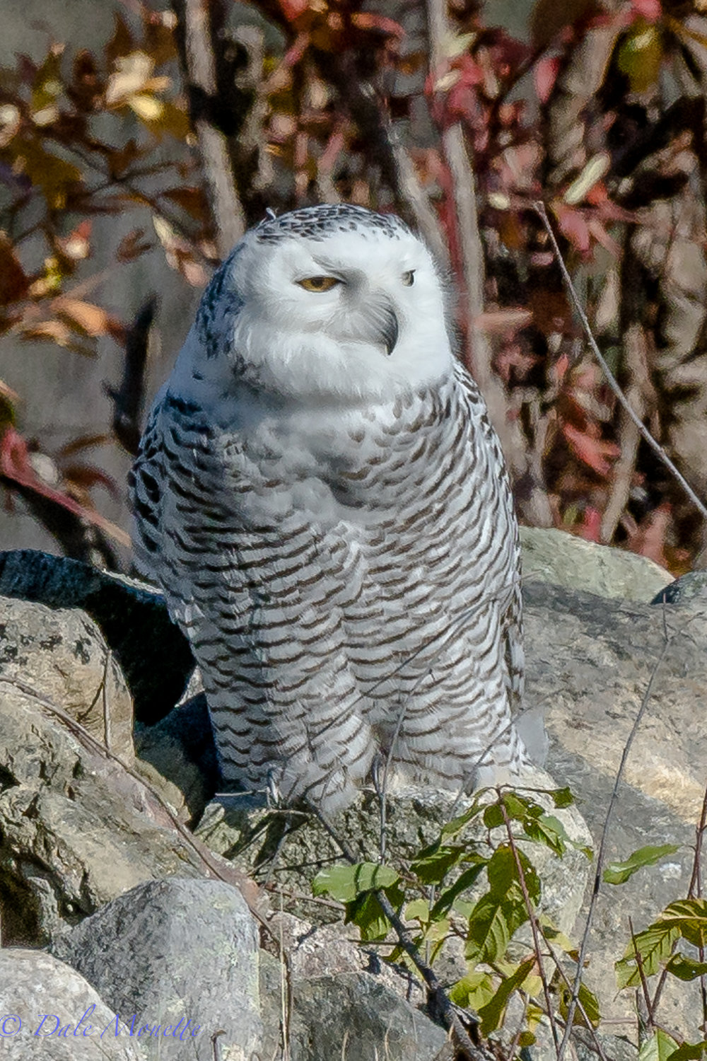 Im sad to report that this snowy owl is now is in a raptor rehab facility. The owl was not feeding ,was captured and has been hospitalized until she can be released again.  She also had a foot injury and a sprained wing muscle. Lets hope within a couple weeks she is back out in the wild where she belongs.  11/16/17