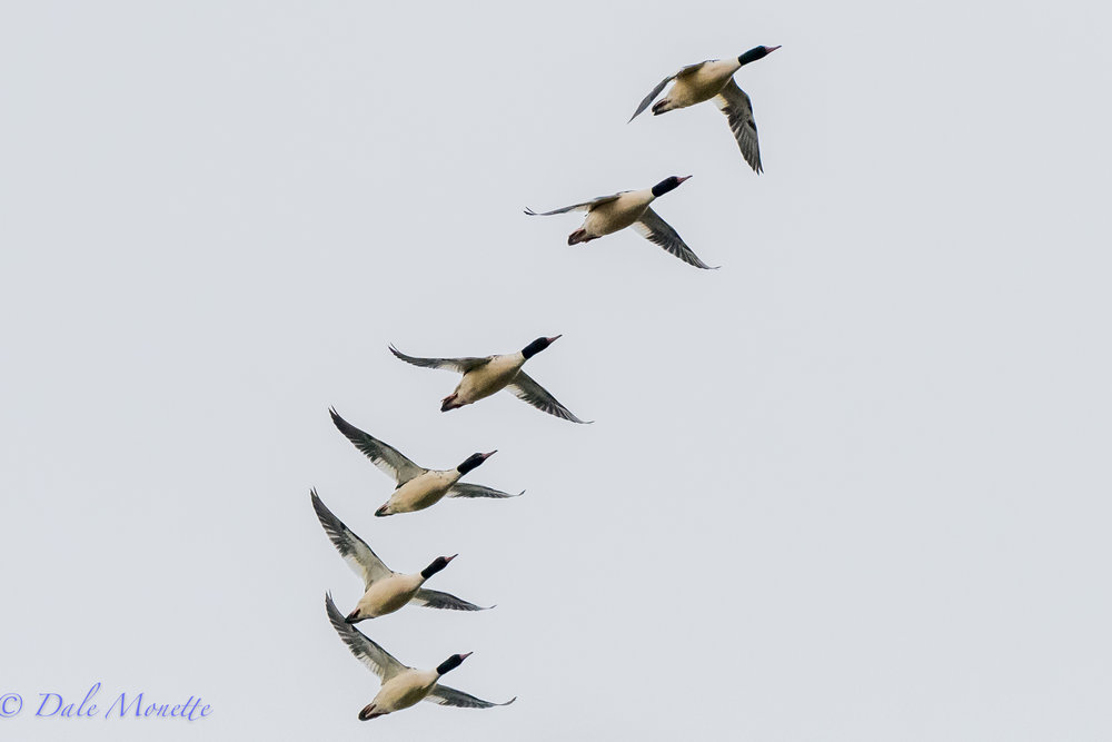 The common merganser numbers are building at Quabbin. In past years I've counted huge 500 plus numbers on the annual Christmas Count... these guys went zipping right over me yesterday morning.......