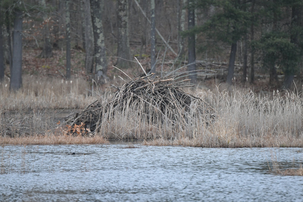 All the beavers hard work all fall will keep them warm and dry through the winter months.  I have been watching and filming thee beavers for over three years and they know how to do it !!