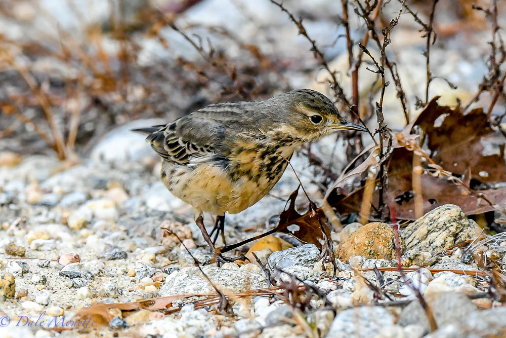 It was 12 F as I walked along the shoreline of the Quabbin this morning. I stumbled upon this rare American pipit.  Its Christmas Bird Count week so it got on the Athol list for the first time in its history of the count.