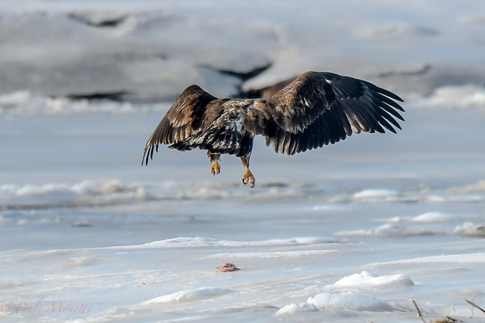 A trip to the coast today turned up this juvenile bald eagle playing with a piece of carrion. Where it came from I have no idea but he was having fun with it..... I wouldn't want those talons in my head!