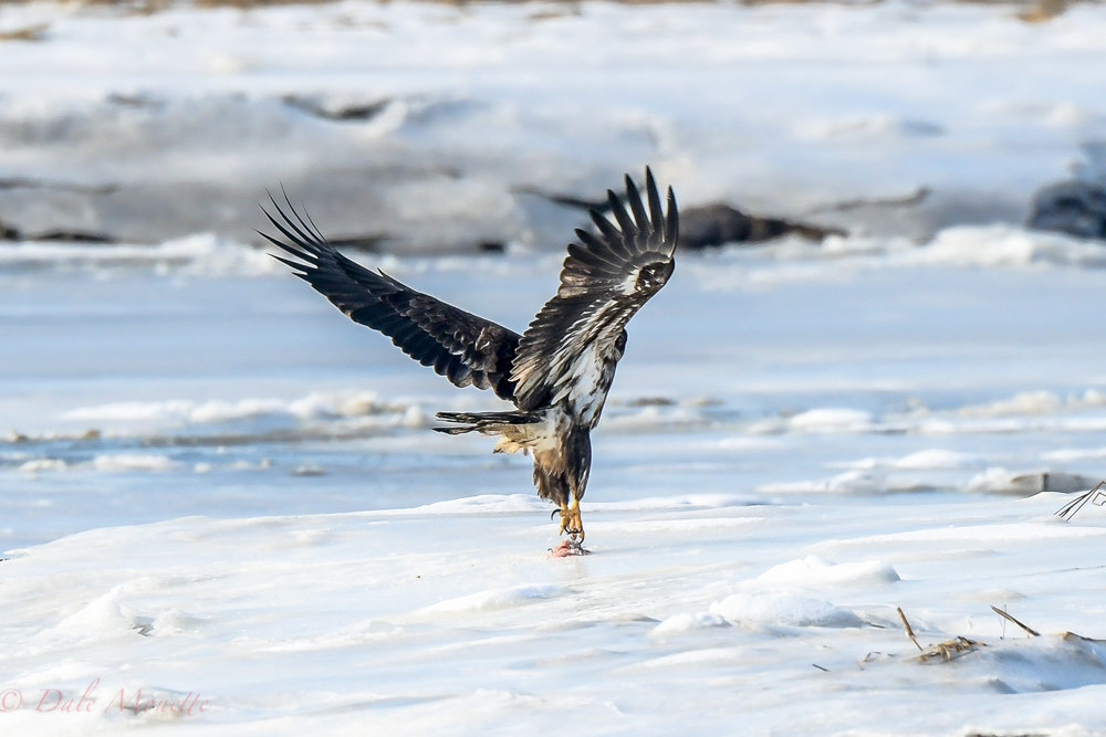 One more of the young eagle today....