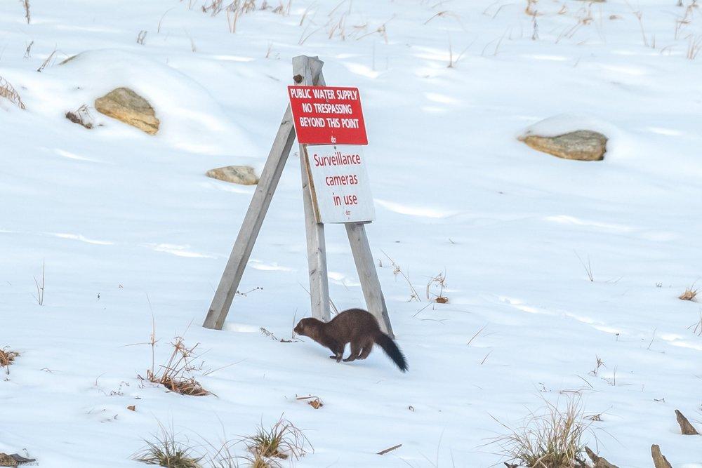 When mink go bad.......