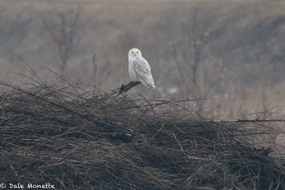 Looks like another snowy owl invasion is under way. I found this one today in the Connecticut River Valley... sitting in the freezing rain last this afternoon. I love these guys !