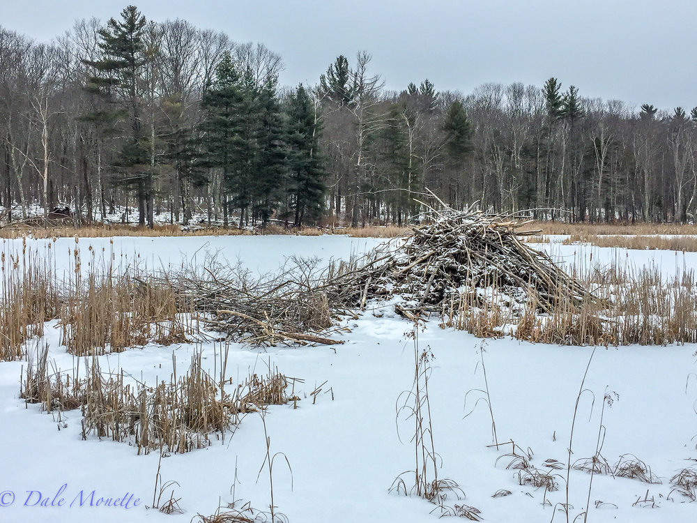 I decided for a change of pace for myself this morning and hiked in to see how one of my three friendly clans of beavers I've spent years photographing are doing this winter. I found them doing great with a large cache of twigs left for the next month and a half. All is well in beaverland.... (this is an iPhone 6 photo)