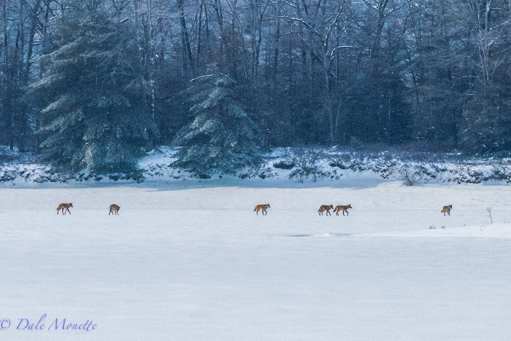 On my hike about the western Quabbin I found a pack of 6 coyotes going somewhere along the ice. Where they were going I know not.....