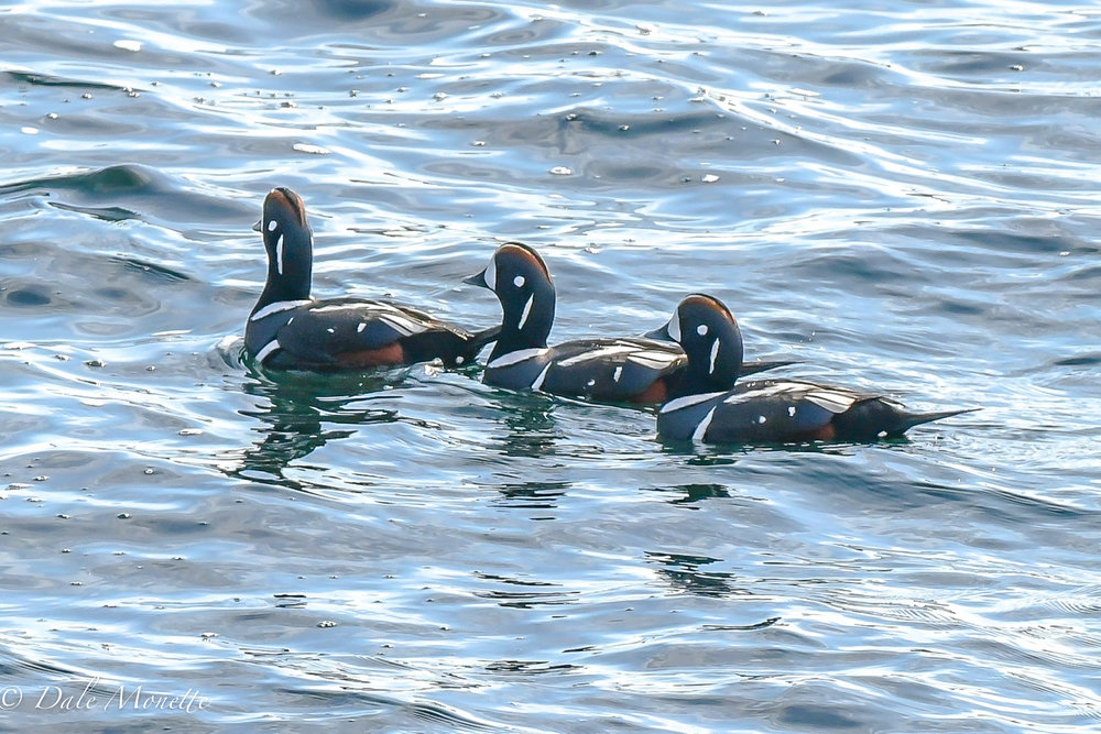 Last week off the coast of Maine I found these harlequin ducks. They are arctic circle ducks that spend their winters in New England along the rocky shores feeding in the tide crashes in the rocks.