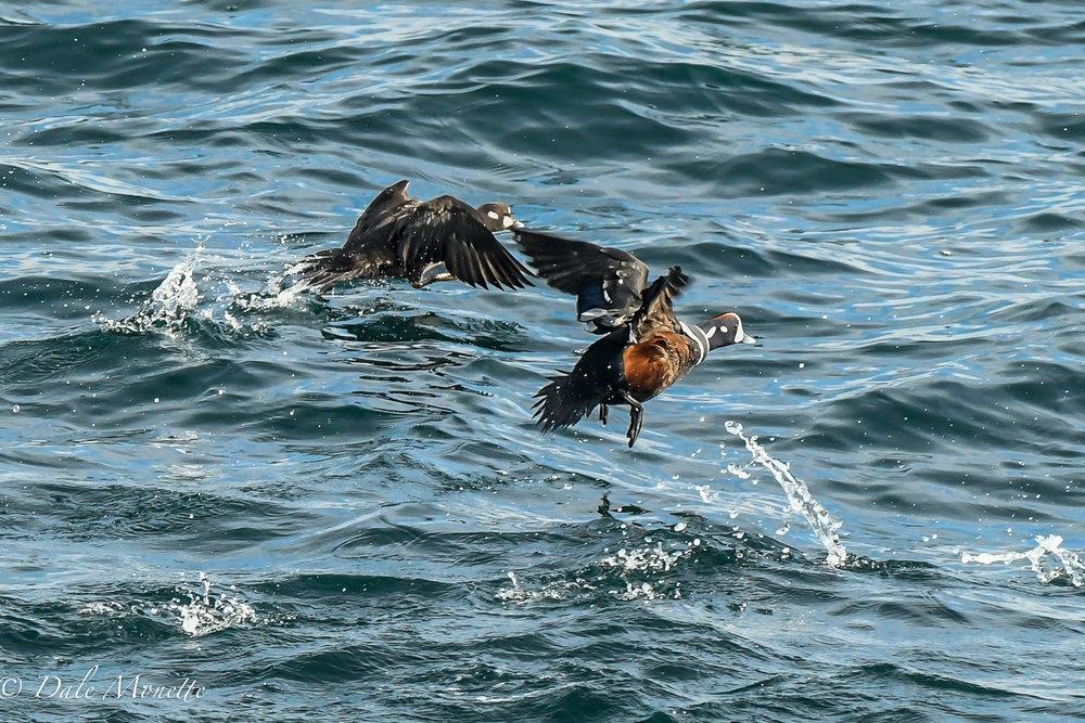 Harlequin ducks again leaving in a hurry !