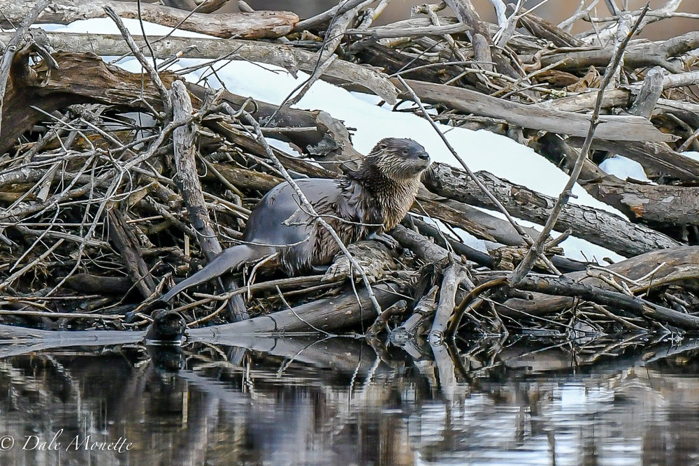After watching this otter fish for about an hour near the back of the pond, he finally got within range of the Nikon 500mm lens... and Bingo ! I love these guys.......